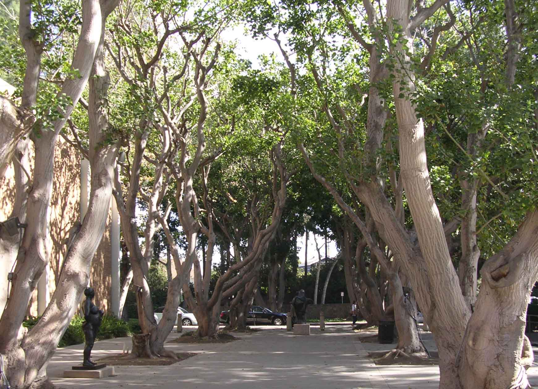 UCLA Campus Map: Coral Tree Walk